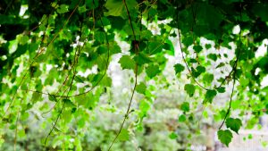Gimbling in the Wabe – For Our Grape Vines, Now Gone